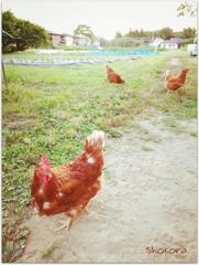 幸せな鶏さんたち