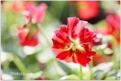 Red viola