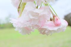 牧場の八重桜