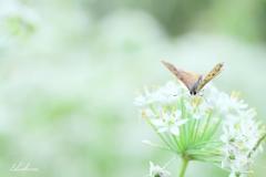 ニラの花とベニⅣ