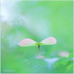 Momiji Fairy