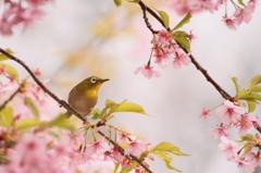 メジロの春