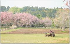 桜咲く牧場