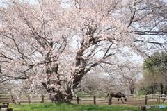 牧場の山桜Ⅱ