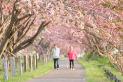 八重桜の路