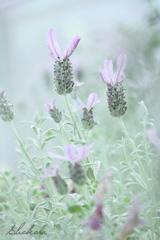 Rabbit lavender
