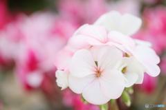 white to rose
