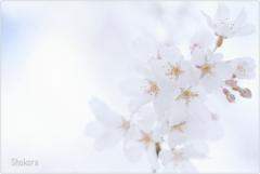 栄福寺の枝垂れ桜Ⅲ