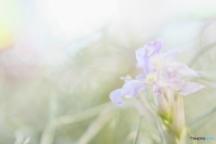 チランジアの花