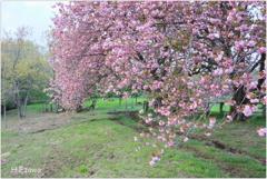 牧場の八重桜Ⅳ