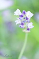 かおり開花
