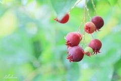 June berry3