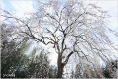 栄福寺の枝垂れ桜Ⅱ