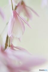 Pink fairy2