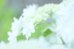 純白の額紫陽花