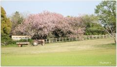桜とトラクター