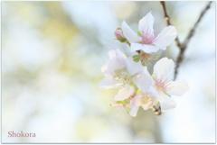 11月の桜