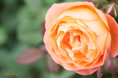 scent of rose2