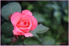 ちいさな薔薇