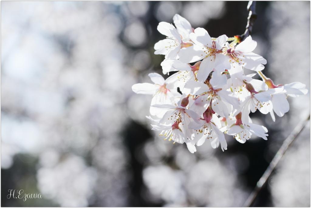 栄福寺の枝垂れ桜13