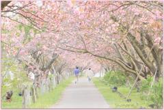 牧場の桜トンネル