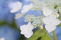 白い装飾花