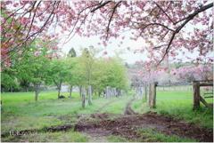 八重桜の牧場Ⅲ