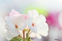 white to roseⅡ