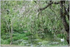 枝垂れ桜と桜Ⅱ