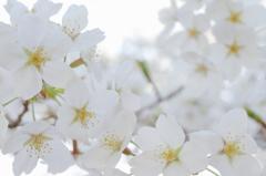 White cherry blossom Ⅱ