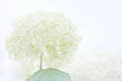 アナベルの白