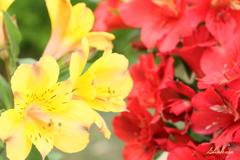 Two color Alstroemeria