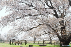 牧場の山桜