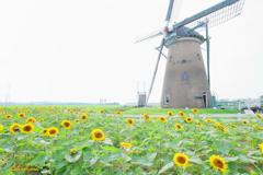 オランダ風車と向日葵