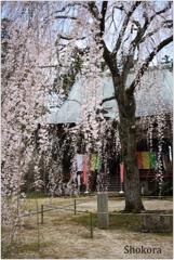 栄福寺の枝垂れ桜
