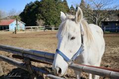 牧場の白い馬