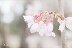 栄福寺の枝垂れ桜Ⅳ