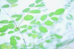 モリンガの葉