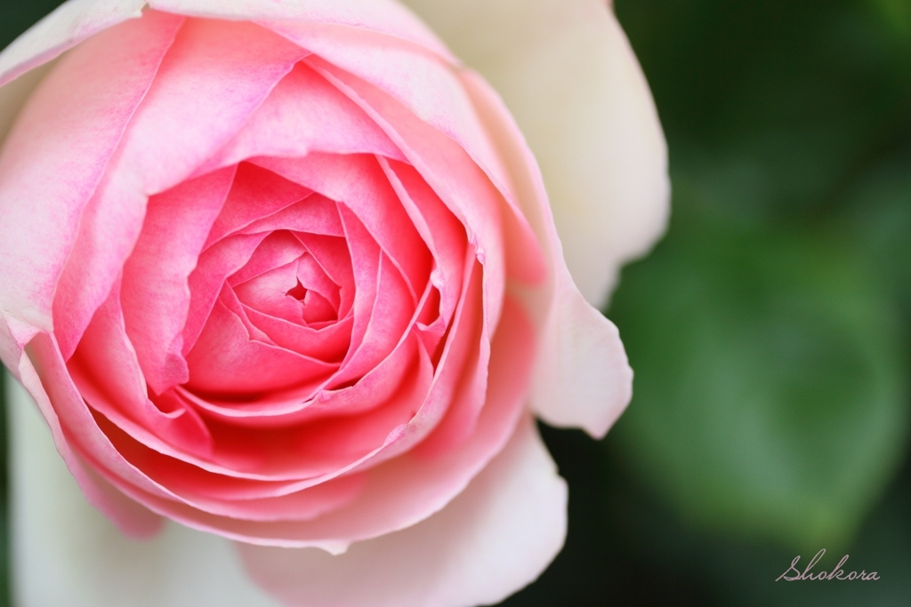 scent of rose
