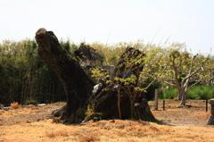 かつて巨木と呼ばれた