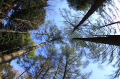 カラマツ林を見上げてみると…