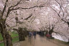桜咲く道を