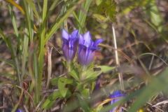 花09竜胆