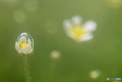 千歳梅花藻