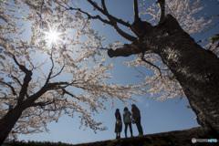 五稜郭公園のソメイヨシノ