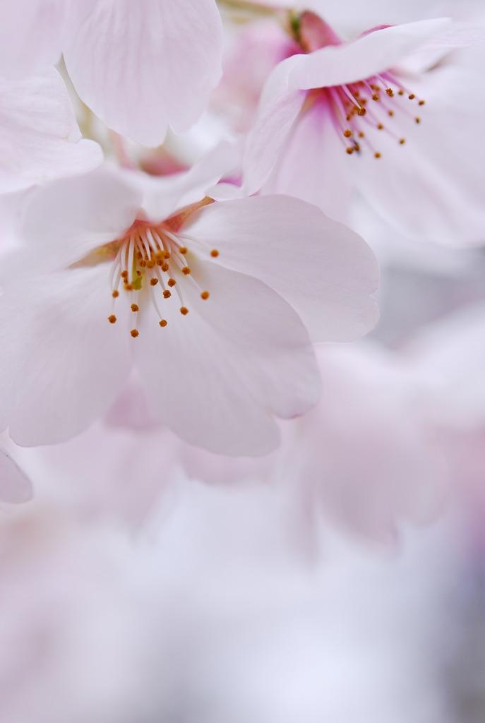桜日和 vol.3