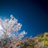 月夜桜と北斗七星