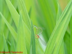 アジアイトトンボ交尾態
