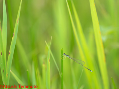 アジアイトトンボ♂(未熟個体)