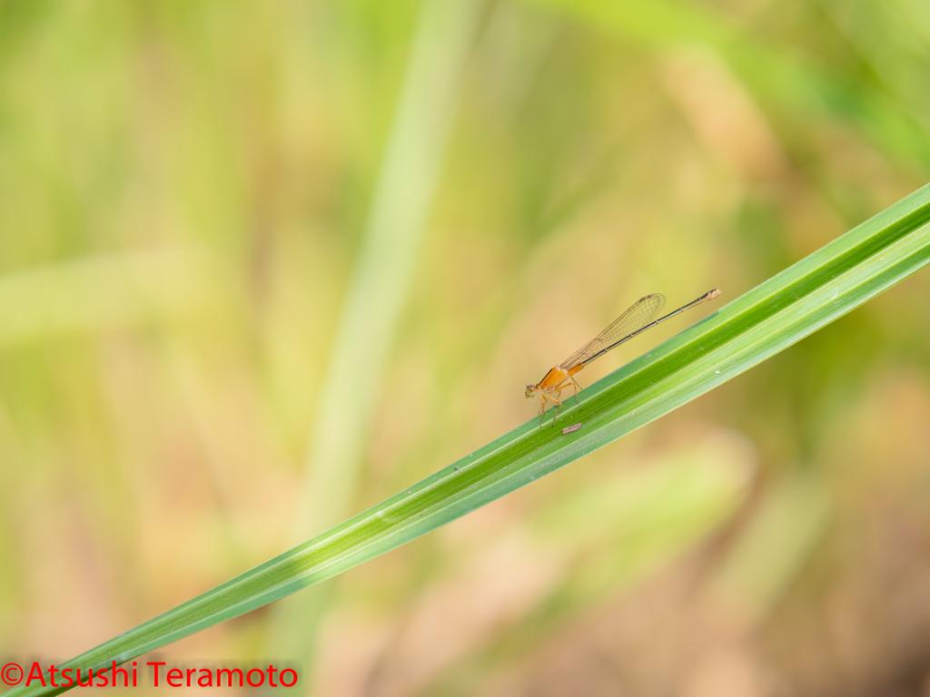 アオモンイトトンボ異色型♀(未成熟個体)
